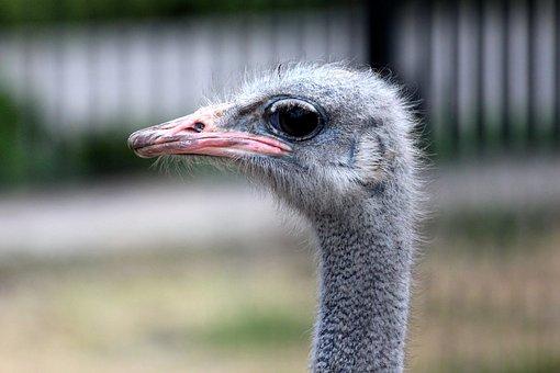 Ostrich, Bird, Animals, Living Nature, Head, Fauna