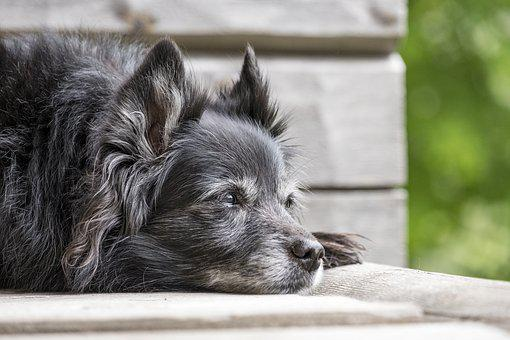 Animal, Dog, Pet, Mammal, Cute, Relaxed, Lying, Terrier