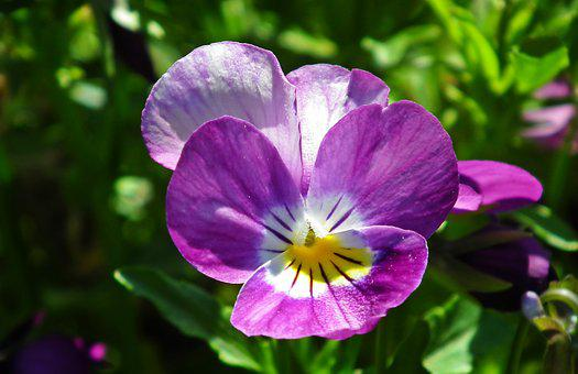 Nature, Flower, Pansy, Colored, The Sun, Plant, Garden