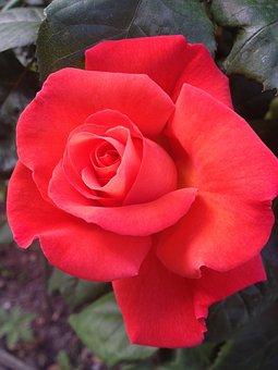 Flower, Petal, Bloom, Nature, Plant, Rosa, Red