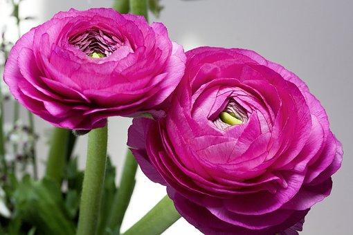 Ranunculus, Blossom, Bloom, Spring, Nature, Plant, Pink