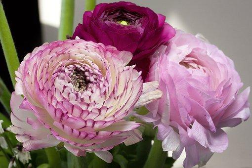 Ranunculus, Blossom, Bloom, Spring, Nature, Plant