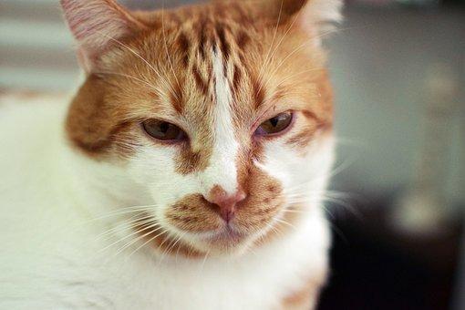 Cat, Cute, Pet, Portrait, Animalia