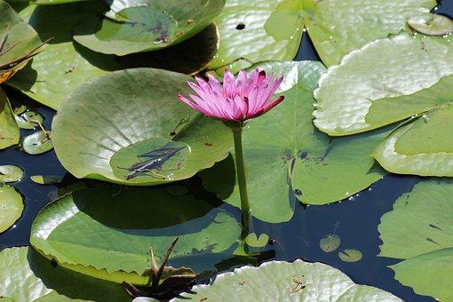 Pool, Lotus, Lily, Leaf, Flora, Nature, Aquatic, Flower