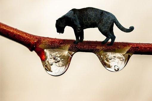 Black Panther, Branch, Drop Of Water, Black Big Cat