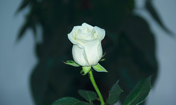 Flower, Flora, Leaf, Nature, Garden, Closeup, Beautiful