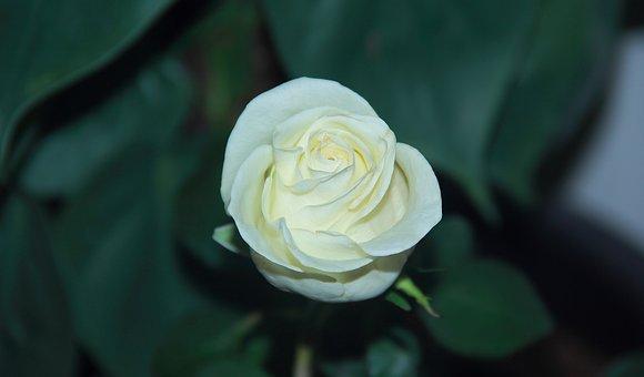 Flower, Rose, Leaf, Flora, Nature, Desktop, Romantic