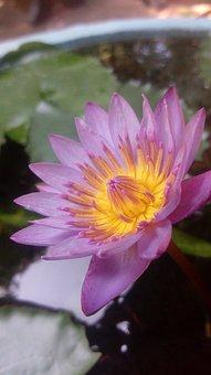 Flower, Nature, Flora, Lotus, Pool