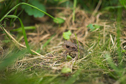 Nature, Animal, Animal World, Small, Grass, Frog, Toad