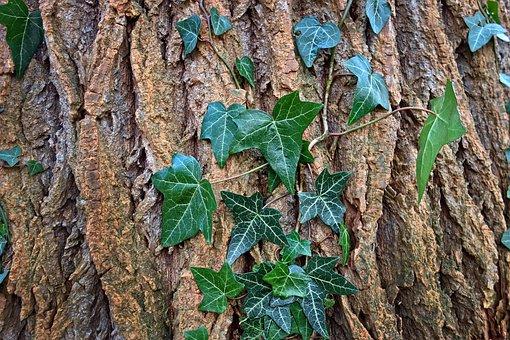 Tree, Trunk, Bark, Ivy, Leaf, Foliage, Growth, Creeper