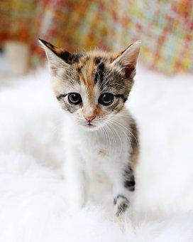 Kitten, Cute, Cat, Animal, Fur, Pet, Domestic, Staring