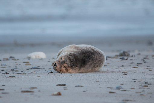 Robbe, Grey Seal, Helgoland, Dune, Sand, Beach, Nature