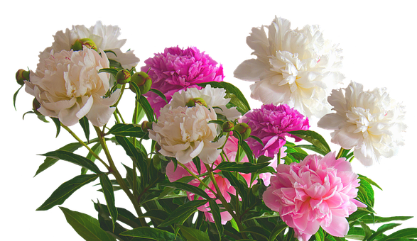 Peony, Roses, Spring, Blossom, Bloom, Flower, Nature