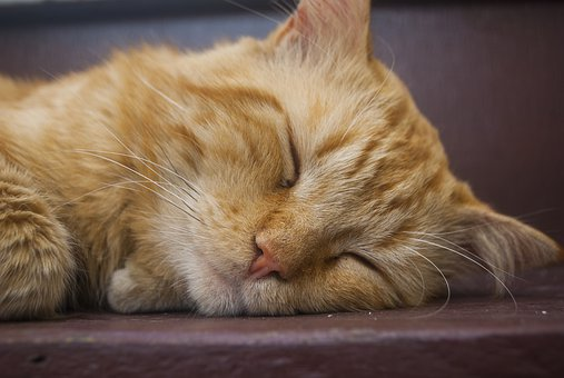 Kitten Sleeping, Pet, Animalia, Cute