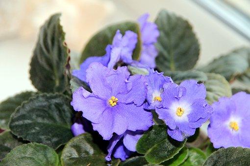 Saintpaulia, African Violet, Flower, Indoor Plant