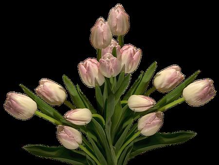 Nature, Flower, Leaf, Isolated, Plant, Tulips, Flowers