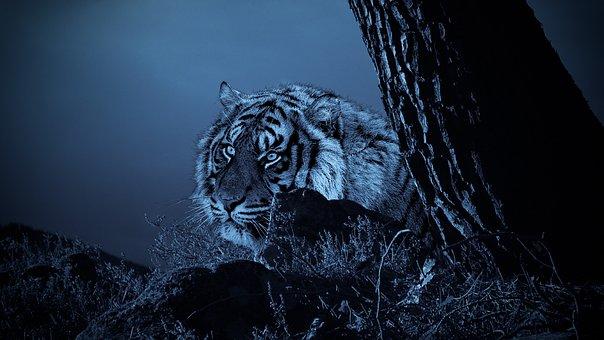 Tiger, Hunting, Looking, Waiting, Nature, Outdoors