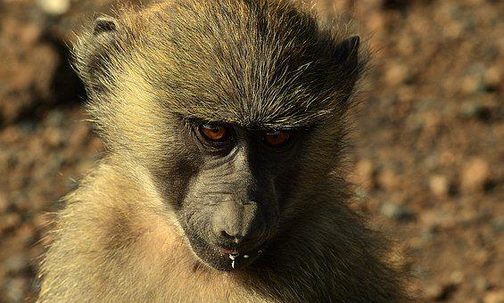 Monkey, Africa, Animal, Nature