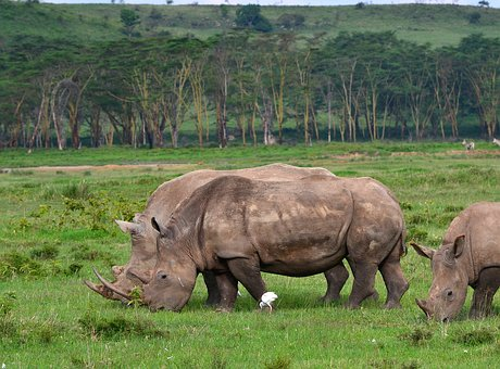 Rhinoceros, Africa, Animal, Nature