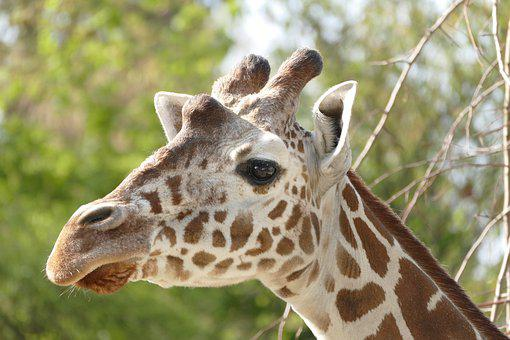 Nature, Animal World, Animal, Giraffe, Wild, Mammal