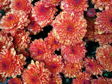 Nature, Dew, Droplets, Flower, Flora, Color, Vibrant