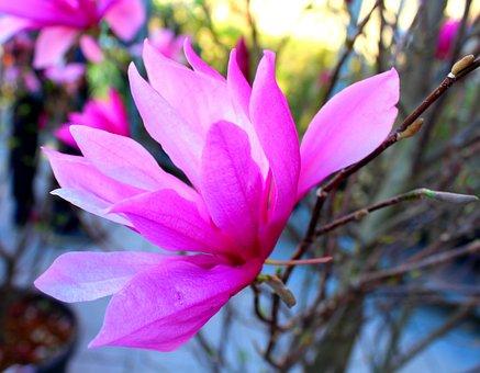 Magnolia, Flower, Pink, Spring, Garden, Coloring, Plant