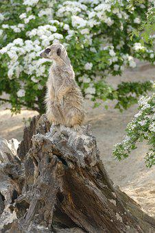 Nature, Animal World, Animal, Wild, Mammal, Meerkat