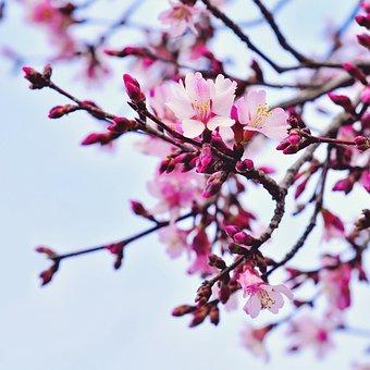 Cherry, Flower, Branch, Tree, Nature, Garden, Season