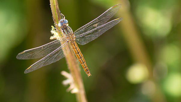 Insects, Dragonfly, Outdoors, Nature
