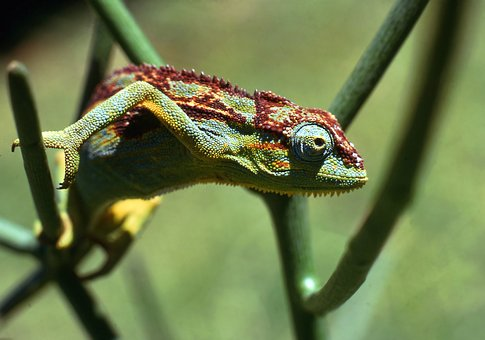 Chameleon, Wildlife, Animal, Outdoors, Nature, Wild