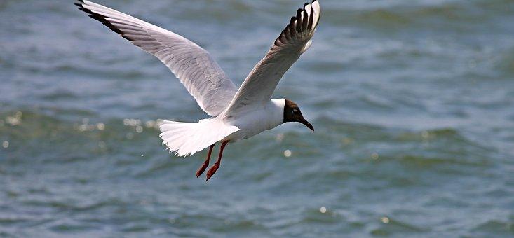 Black Headed Gull, Seagull, Flight, Wing, Bird, Animal