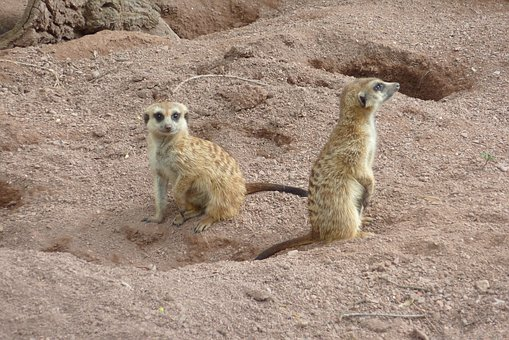 Nature, Mammal, Animal World, Desert, Animal, Meerkat