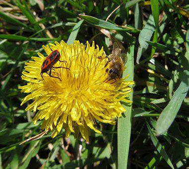 Nature, Dandelion, Bee, Insect, Flower, Flora, Summer