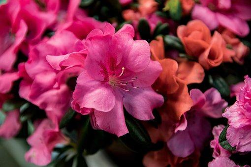 Azalea, Blossom, Bloom, Pink, Flower