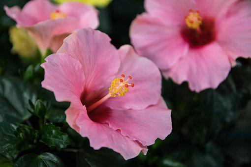 Hibiscus, Blossom, Bloom, Flower, Pink
