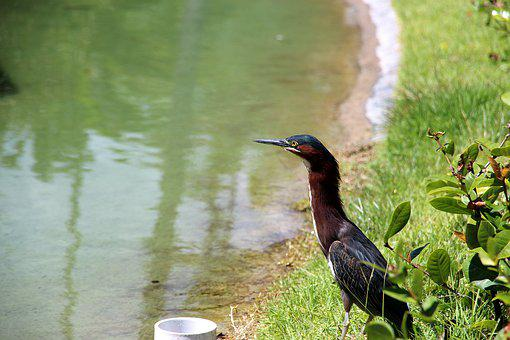 The American Green Heron, Butorides Virescens, Nature