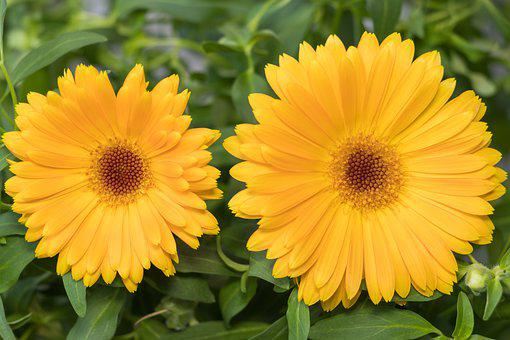 Plant, Flower, Nature, Summer, Bright, Calendula