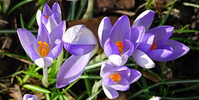 Crocus, Spring, Lenz, Early Bloomer, Violet, Garden