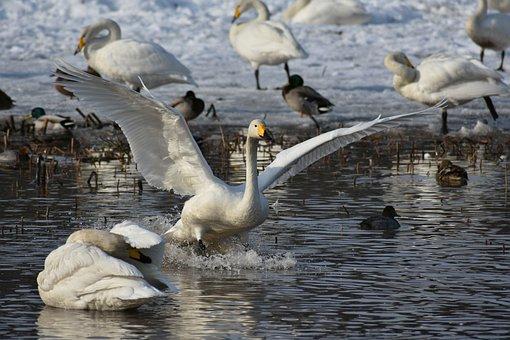 Animal, Lake, Waterside, Bird, Wild Birds, Fields, Swan