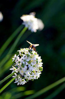 Fly, Flower, Onion, White, Green, Nature, Bloom