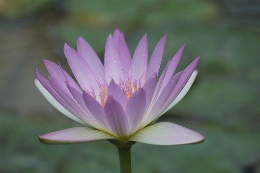 Flowers, Nature, Plants, Leaf, Flowering, Lotus