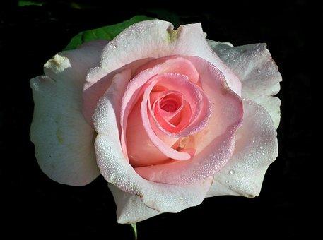 Rose, Flower, Pink, Petal, Love, Blooming, Nature