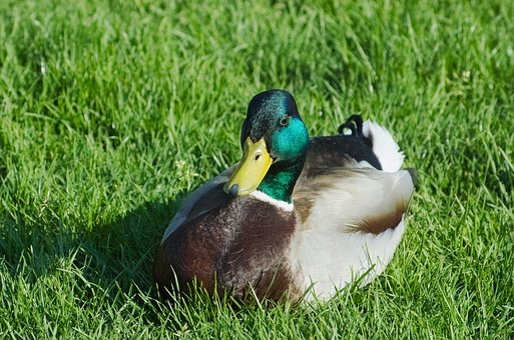 Duck, Mallard, Drake, Meadow, Grass, Water Bird