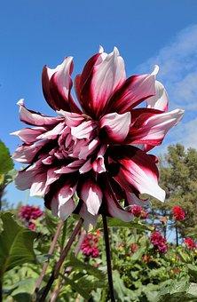 Dahlia, Flower, Nature, Plant, Summer, Botanical Garden