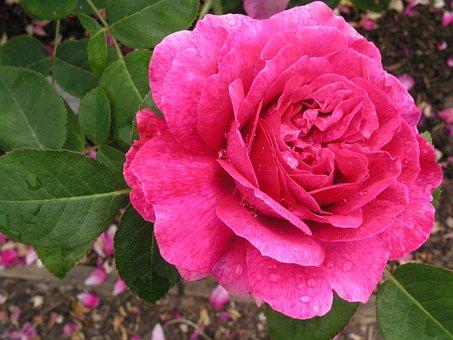 Flower, Nature, Flora, Petal, Rose, Floral, Blooming