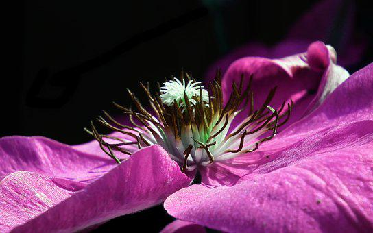 Flower, Clematis, Violet, Nature, Beautiful, Plant