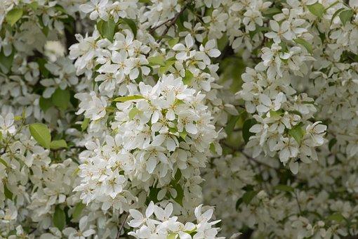 Plant, Flower, Nature, Sheet, White Flowers, Wild Apple