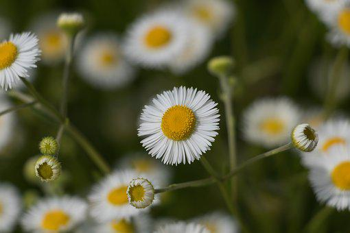 Nature, Plant, Flower, Summer, Field, White