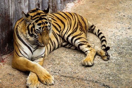 Wildlife, Animal, Mammal, Nature, Zoo, Stripe, Tiger