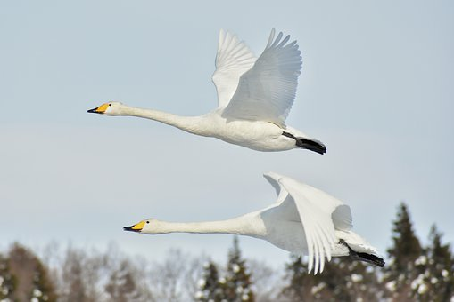 Animal, Sky, Bird, Wild Birds, Fields, Swan